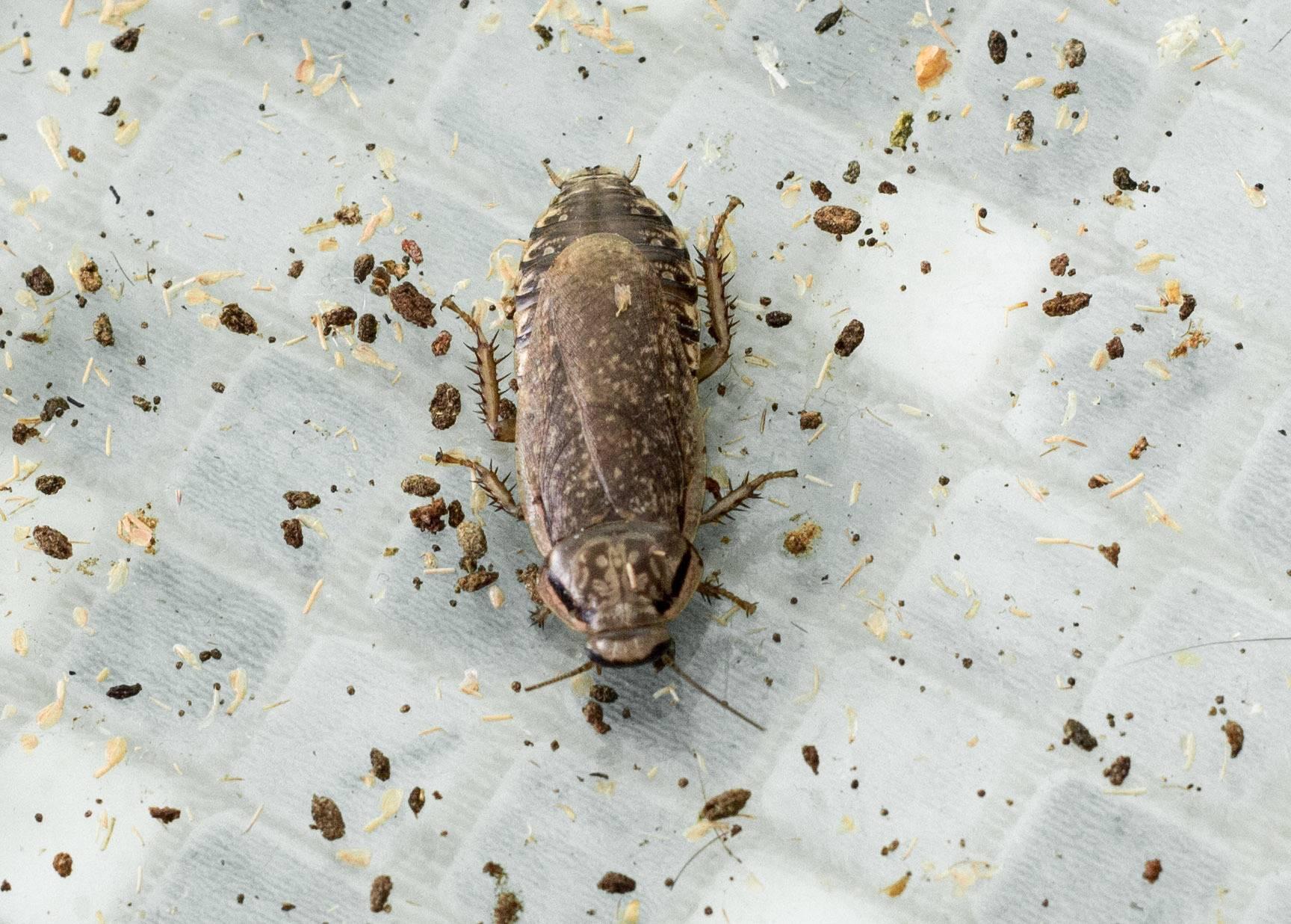 Сколько тараканов вылупляется из одного яйца