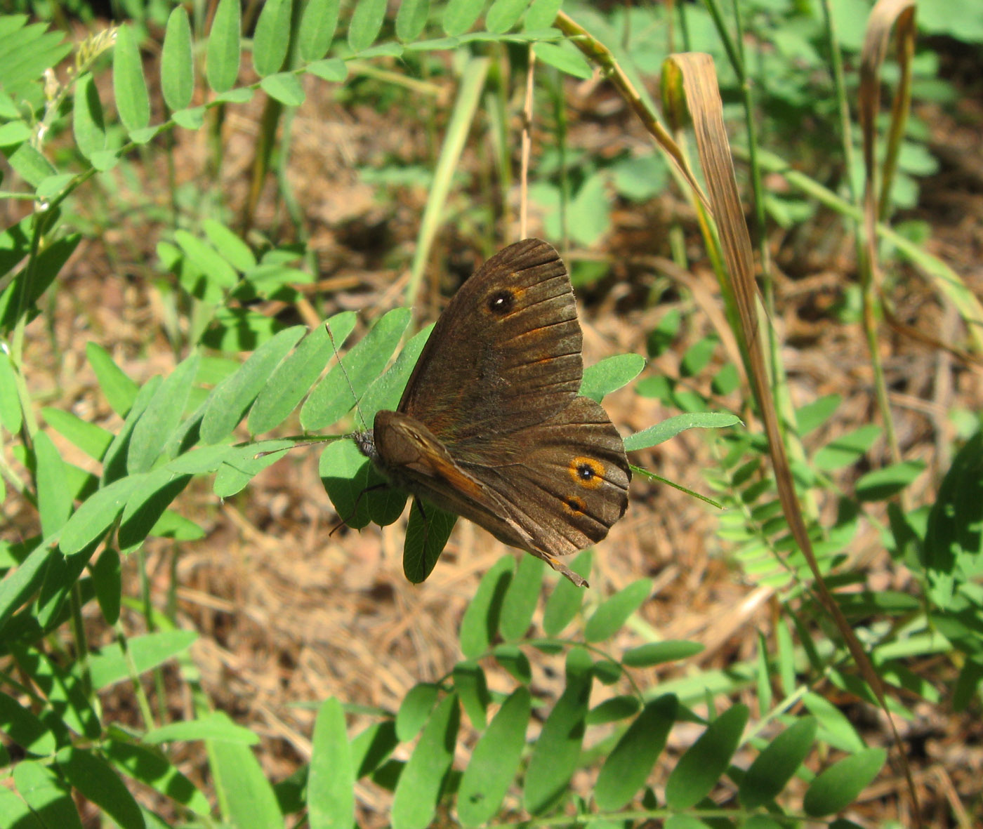 Бабочка бархатница - описание, среда обитания, виды