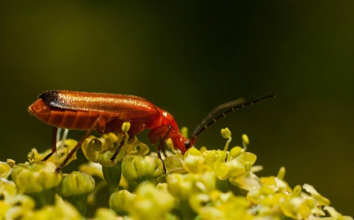 Мягкотелка рыжая: хищники большие и маленькие, в саду и парке