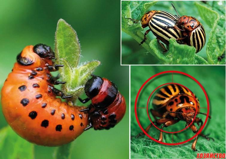 Как бороться с колорадским жуком уксусом и горчицей? | рутвет - найдёт ответ!