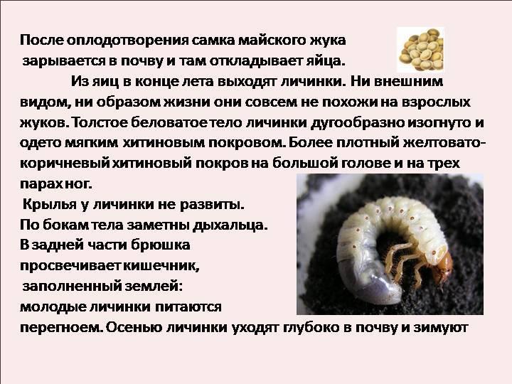 Медведка: 120 фото, свойства, польза и вред. образ жизни и среда обитания