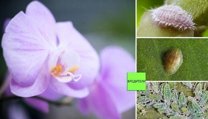 Щитовка на орхидее: как избавиться народными средствами