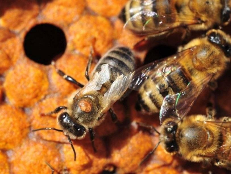 Пестряк пчелиный: образ жизни опасного вредителя ульев, профилактика паразитирования