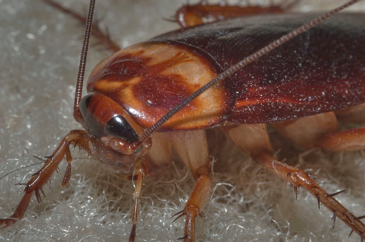 Стасики, прусаки и трамваи: народные прозвища тараканов