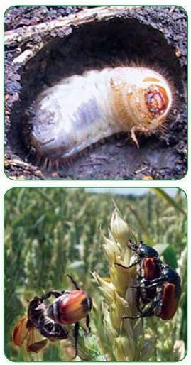 Какие насекомые считаются вредителями полей, вредители зерновых культур, виды, фото, меры борьбы