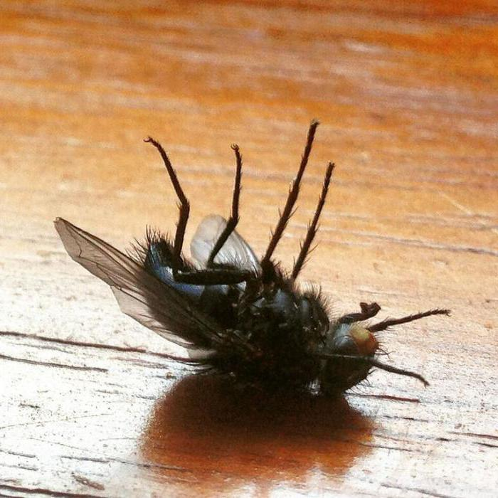 Почему мухи потирают лапки друг о друга, что это означает?
