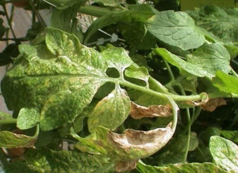 Как избавиться от паутинного клеща в теплице: средства для обработки