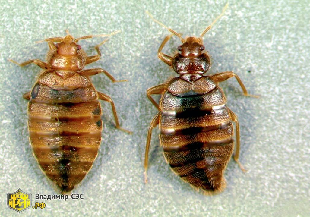 Как выглядят клопы: размер и внешний вид взрослых особей и личинок