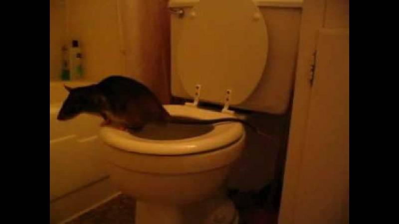 Озёрская крыса вылезла из унитаза на пятом этаже