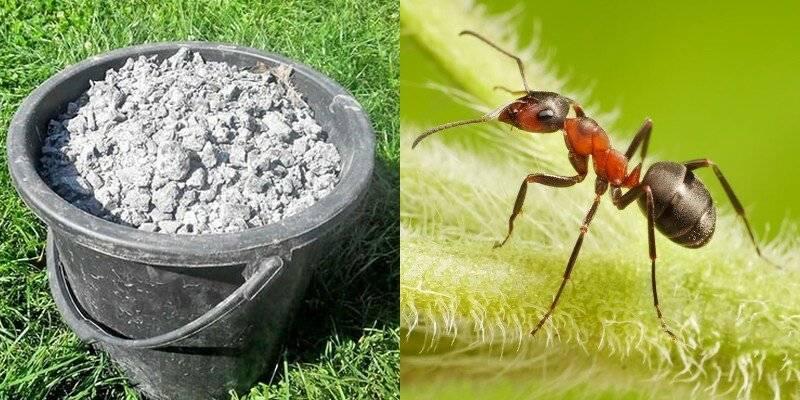Как избавиться от муравьев на цветах