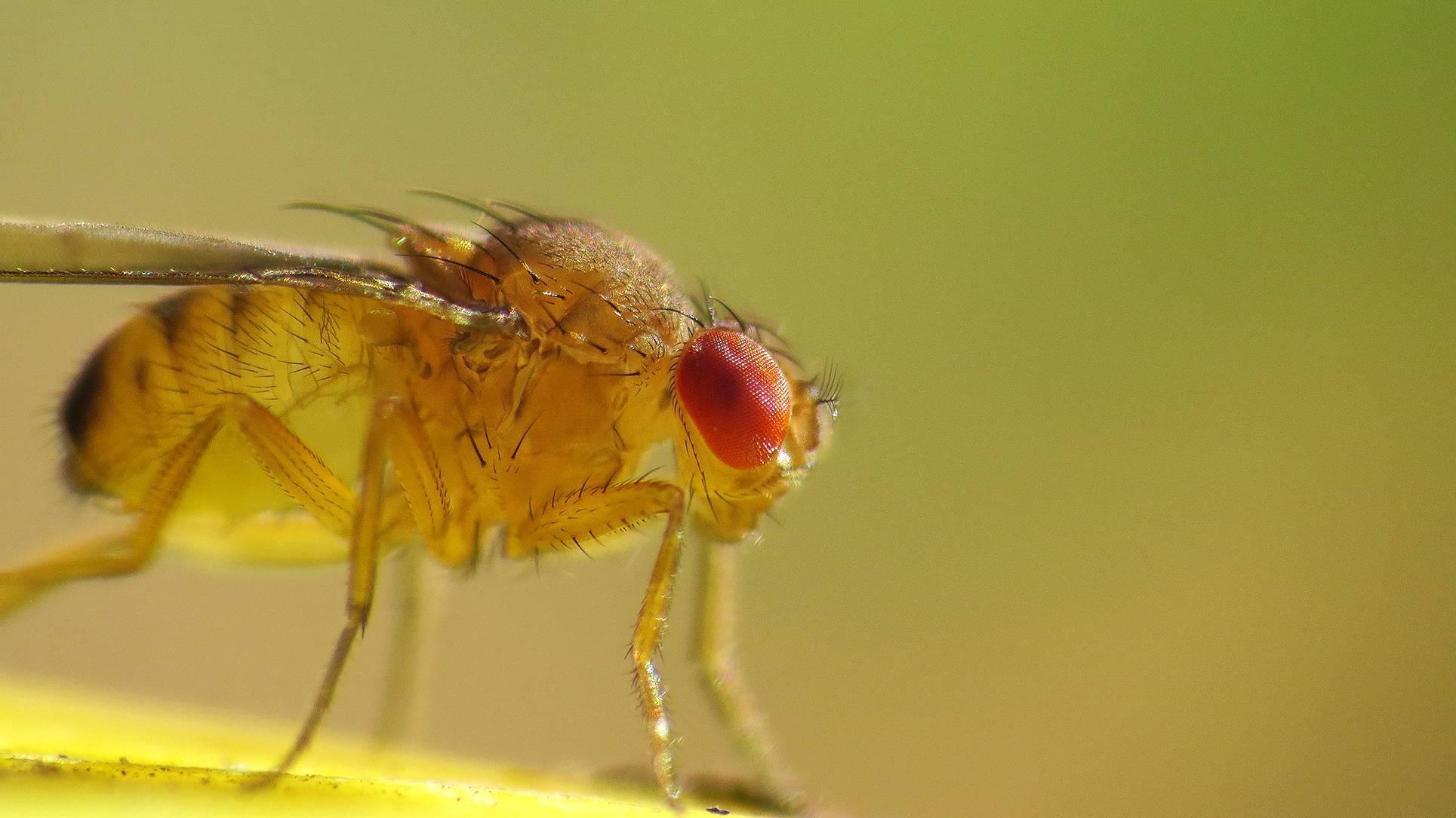 Дрозофилы: как выглядят, фото, как избавиться от этих мух в квартире, откуда они появляются, сколько живут