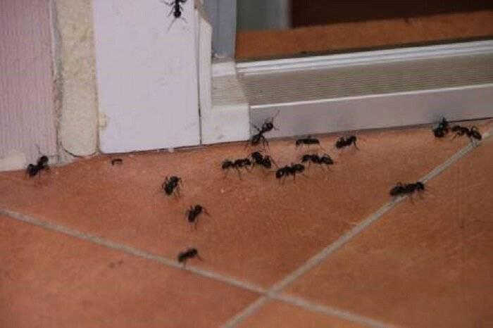 Муравьи в квартире: причины появления, методы борьбы