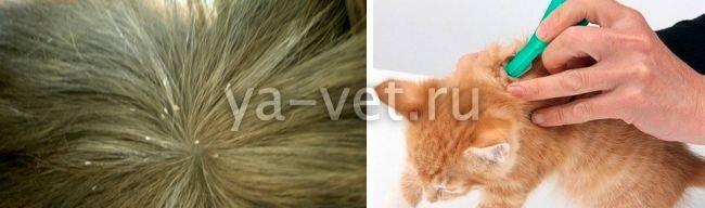 Власоеды у кошек симптомы и лечение
