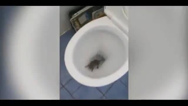Крыса в унитазе - что делать и как избавиться