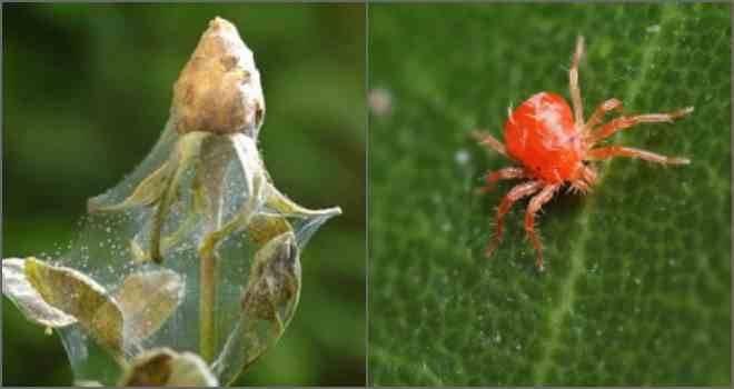 Защита от паутинного клеща