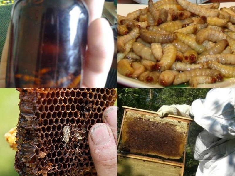 Настойка восковой моли: показания и противопоказания. восковая моль, огневка пчелиная | рецепты здоровья