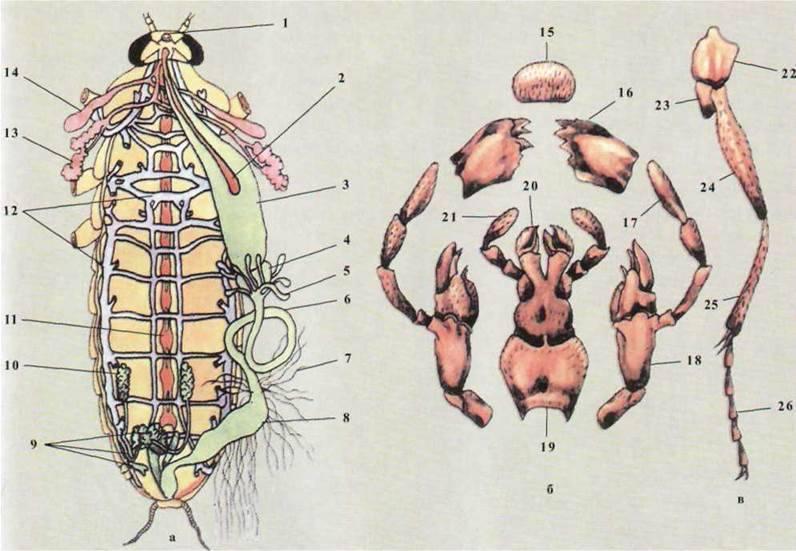 Черный таракан: его строение и нервная система