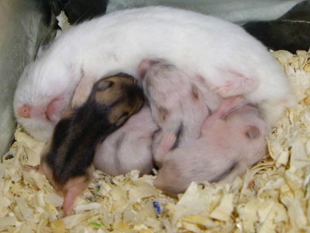Как часто размножаются крысы