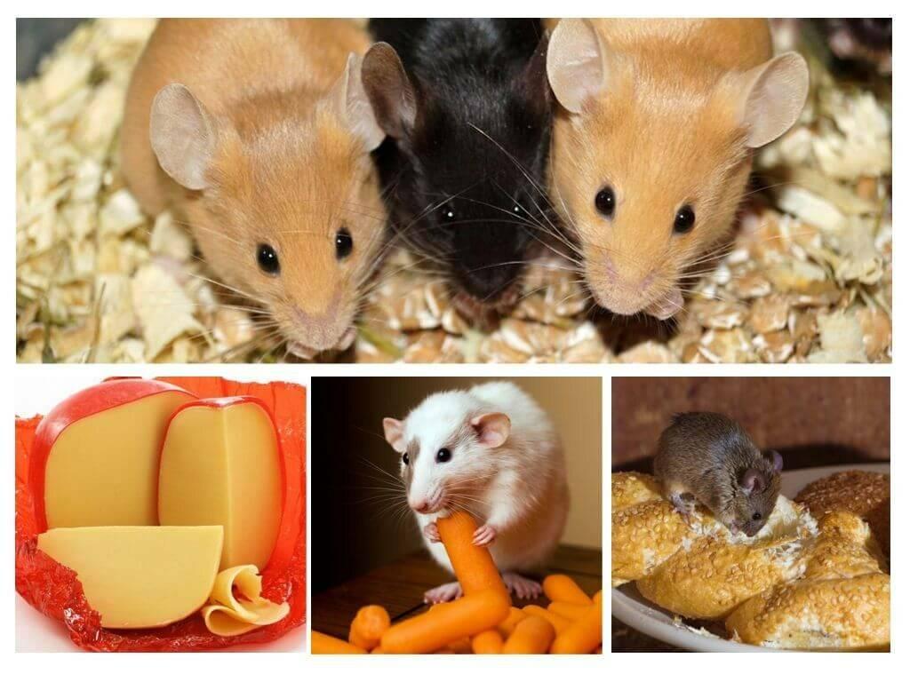 Что едят мыши: чем питаются в природе и в домашних условиях, чем кормить маленьких новорождённых мышат слепышей без матери, каких насекомых едят