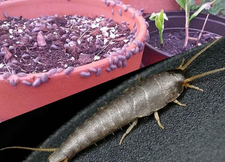 Чешуйницы в квартире: как избавиться навсегда в домашних условиях, что делать, если ползают серебристые насекомые