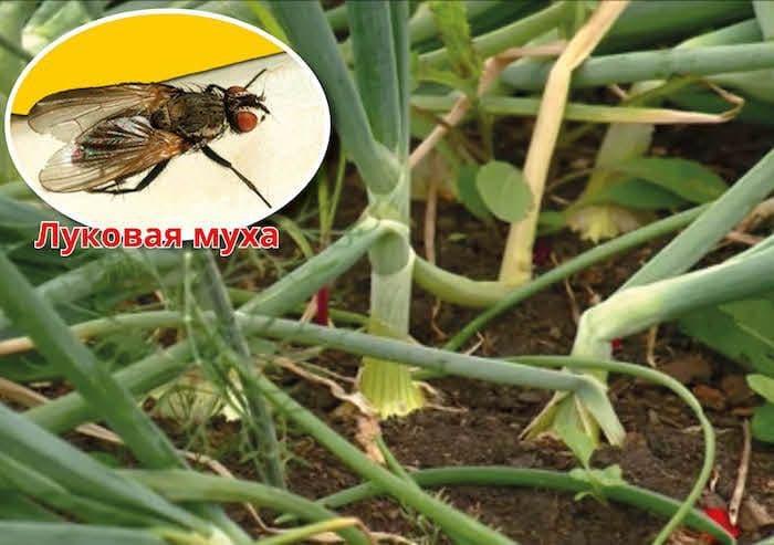 Как бороться с луковой мухой: химические и народные средства, в том числе нашатырный спирт, отзывы