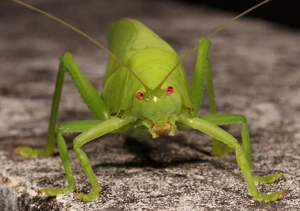 Сколько живут кузнечики? краткое описание насекомого