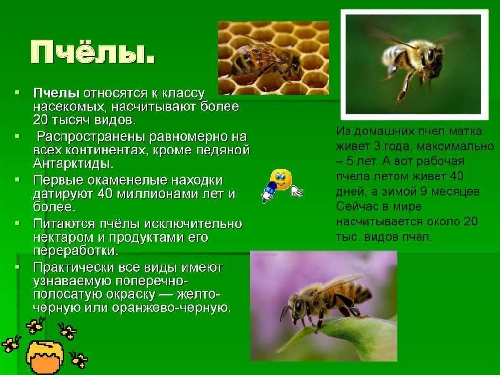 Виды и породы пчел с фото и описанием