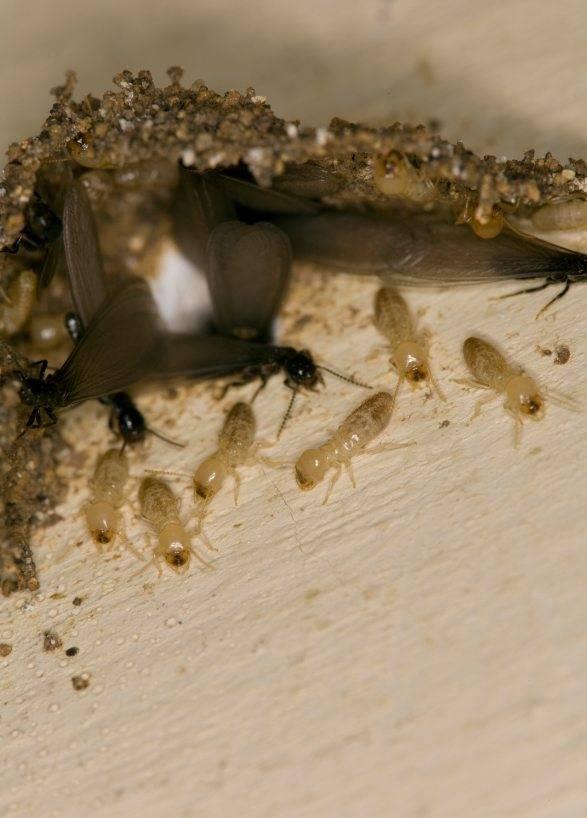 Как можно уничтожить термитов