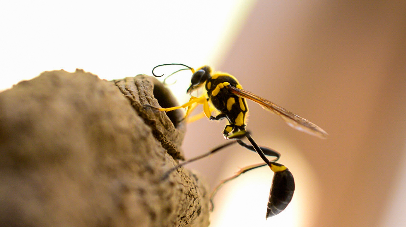 Роющие осы: особенности, разновидности, что делать при укусе