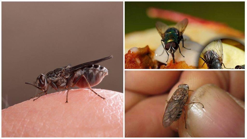 Кусаются ли мухи, – какие, когда и почему. укусы мух