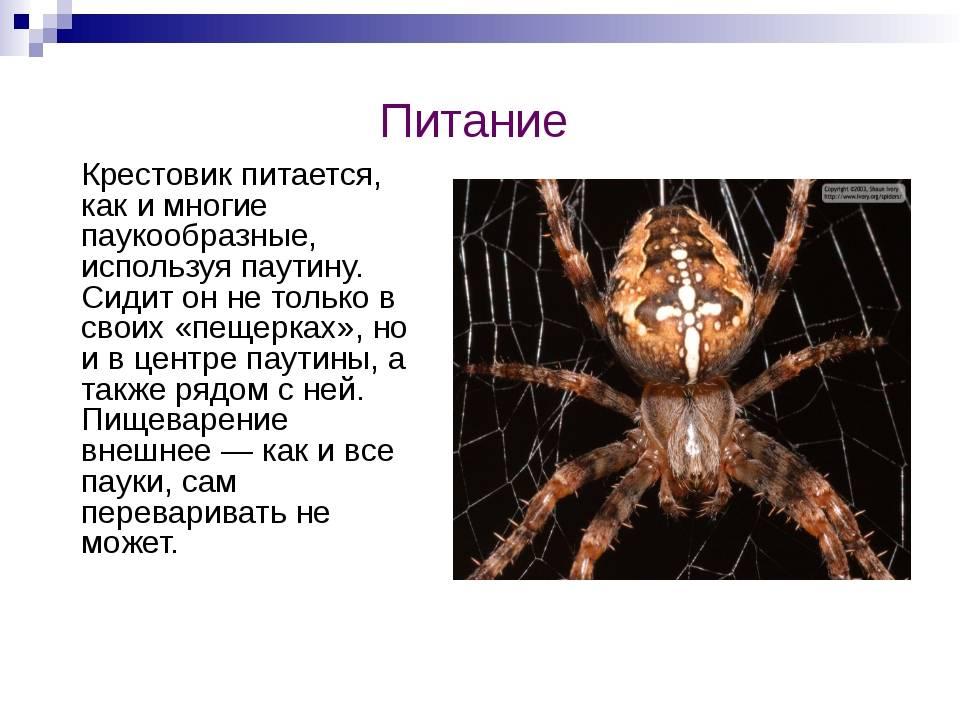 Паук-крестовик – описание, виды, фото, где обитает, чем питается