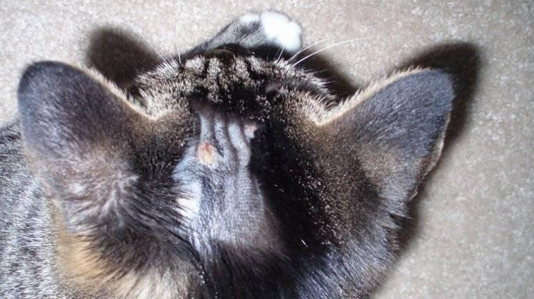 Власоеды у кошек: фото вшей и симптомов поражения ими на коже, диагностика, лечение и профилактика в домашних условиях