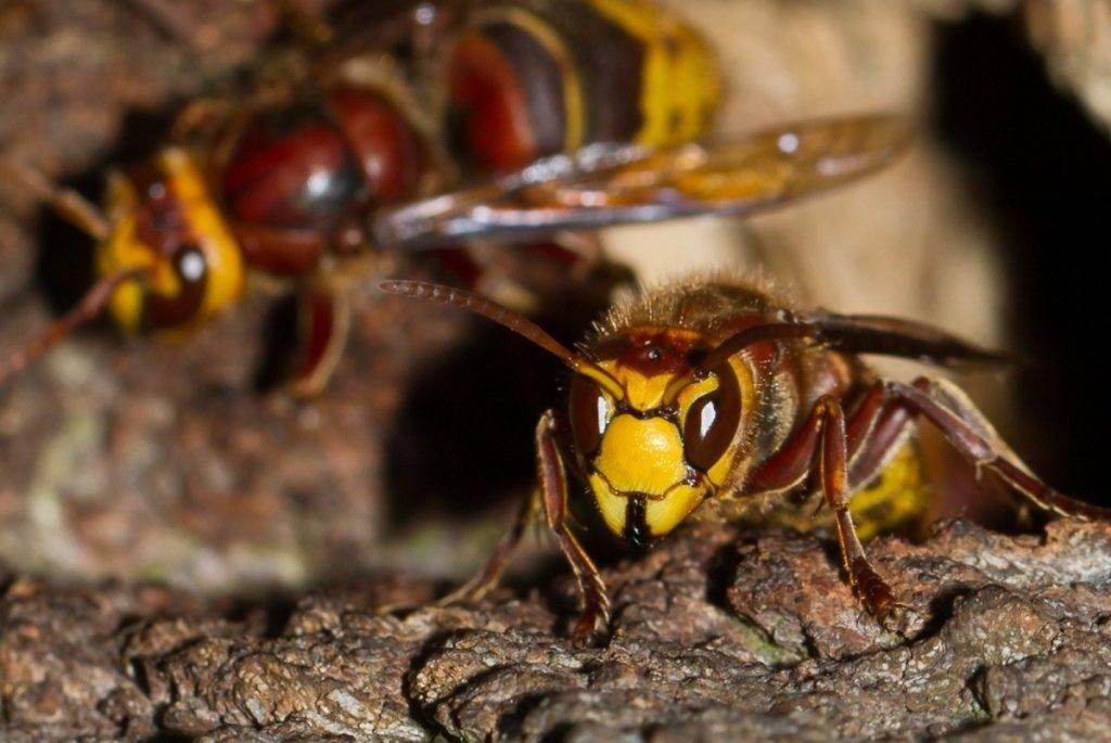 Кто оставляет жало пчела или оса, и как его вытащить