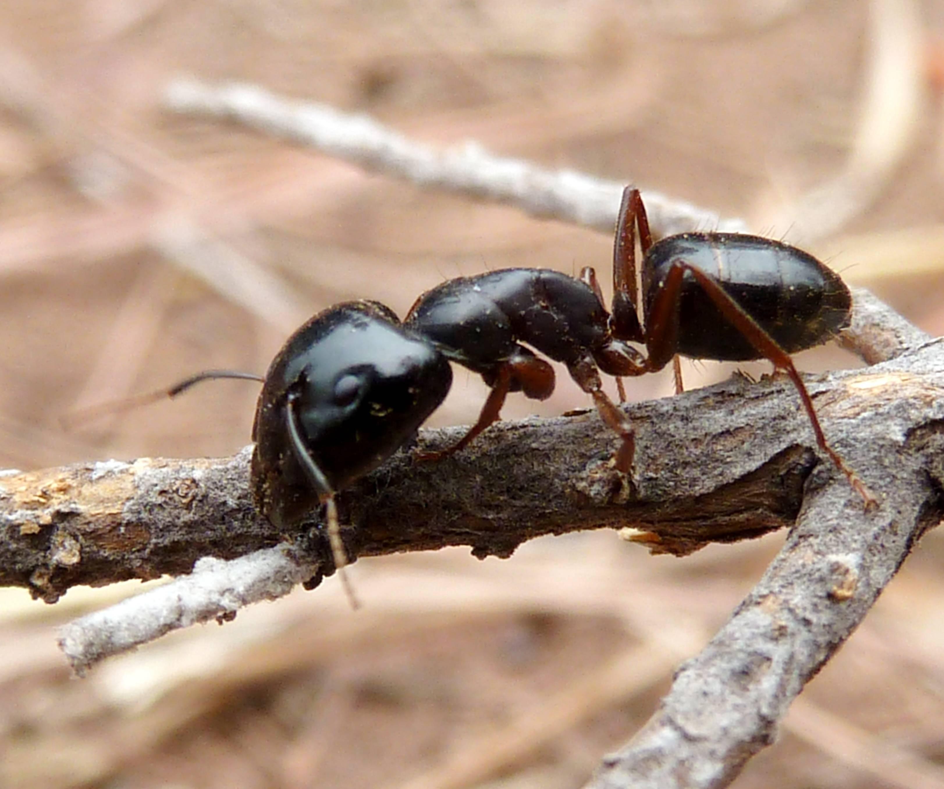 Черные муравьи в дома, квартире или на огороде: как от них избавиться, откуда берутся, какой вред наносят