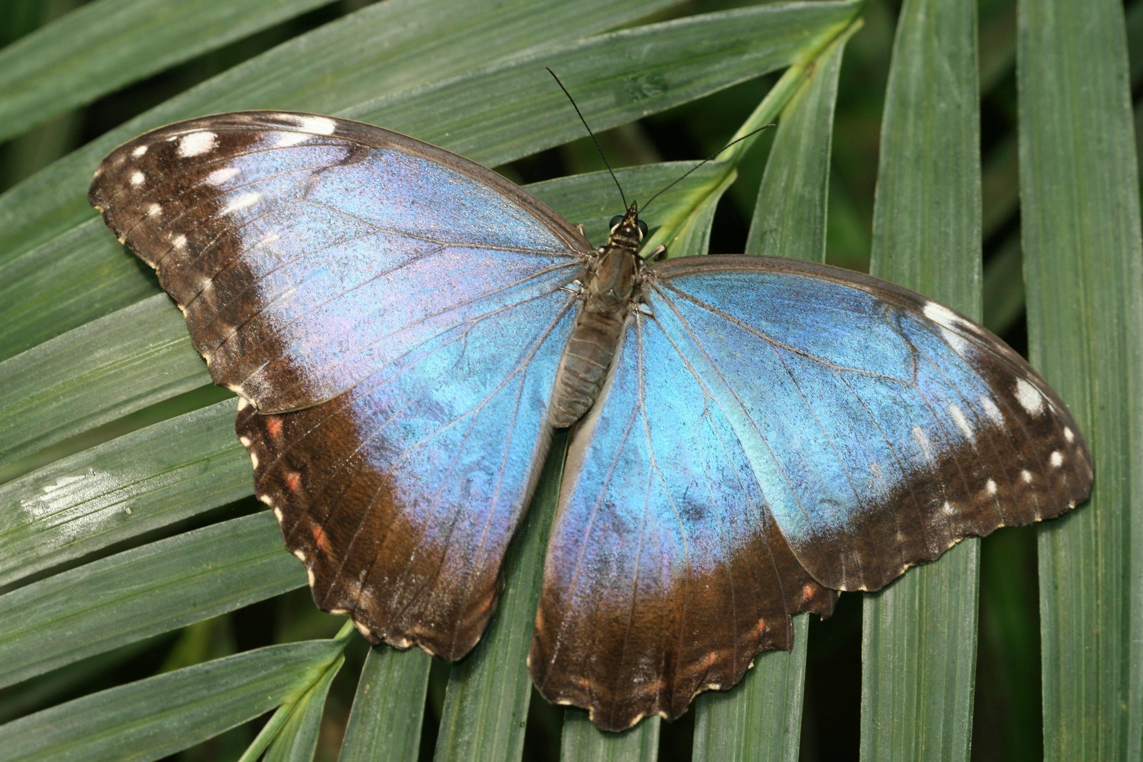 Тизания агриппина – самая большая бабочка на свете
