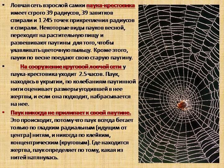 Как паук плетет паутину между деревьями. загадки паутины