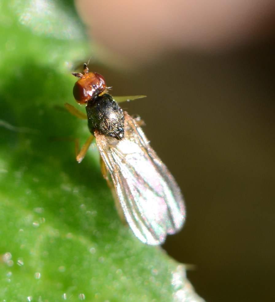 Морковная муха: как быстро с ней бороться? — насекомые вредители