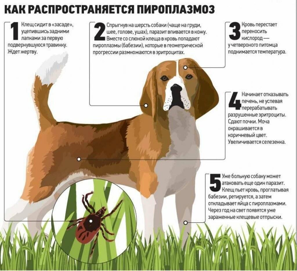 Спреи для собак от блох и клещей: виды, преимущества и недостатки, правила обработки