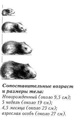 Сколько живут крысы. продолжительность жизни