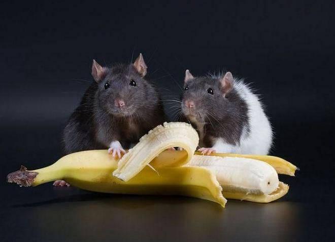 Чем нельзя кормить крысу в домашних условиях, список продуктов