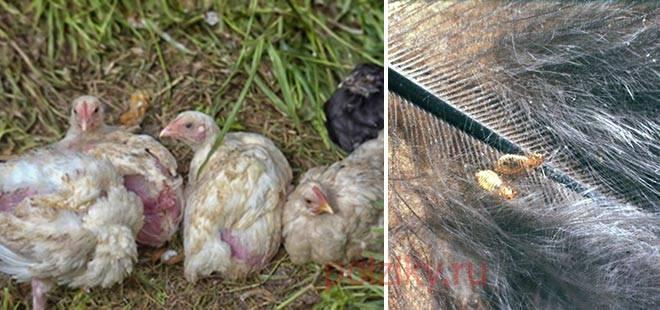 Пероеды и пухоеды у кур: как избавиться, методы лечения и средства