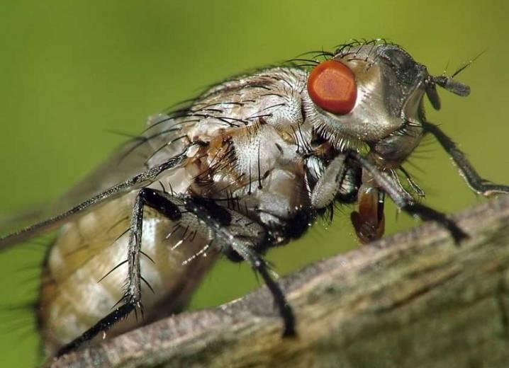 Методы борьбы с капустной мухой, описание вредителя и личинки