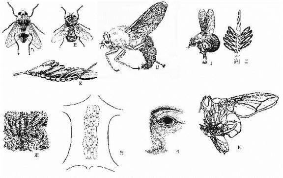 Вольфартова муха: описание, методы борьбы с укусами
