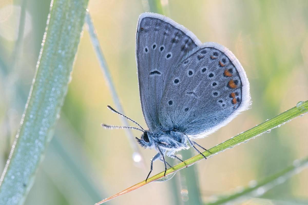 Как называется маленькая голубая бабочка