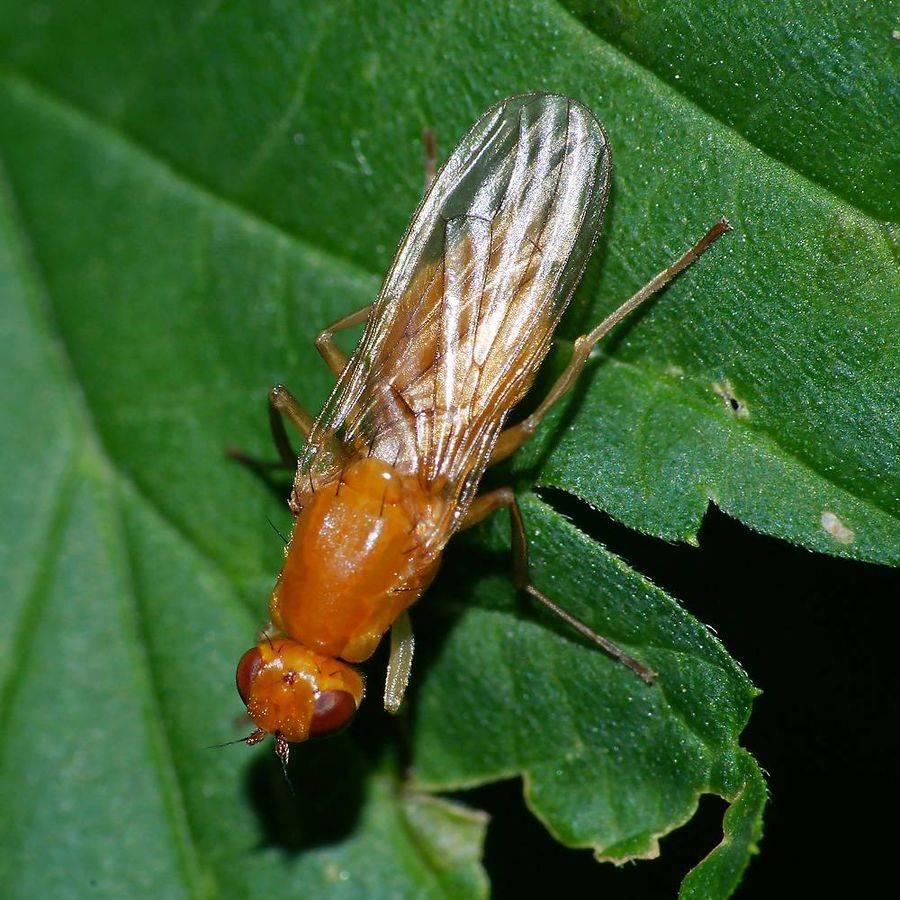 Как бороться с морковной мухой - действенные методы и препараты