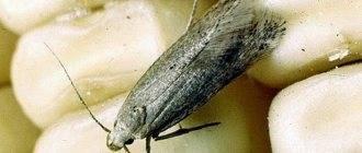 Чего боится моль и ее личинки: народные средства, травы, при какой температуре погибает