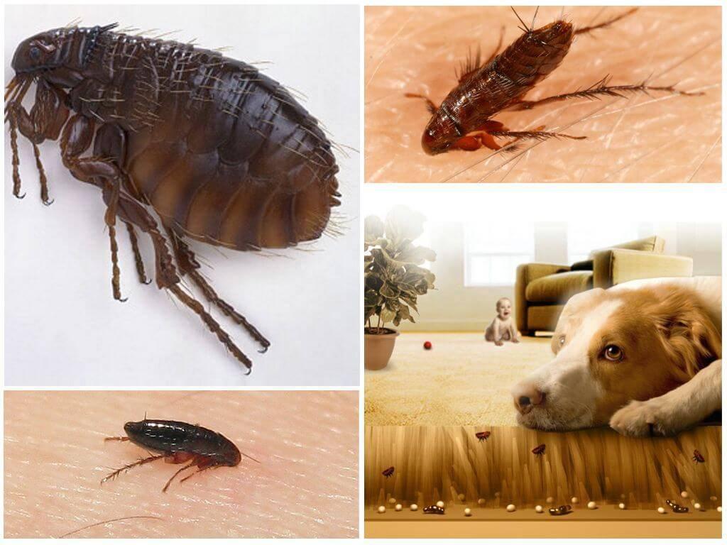 Подвальные блохи: как избавиться от них, уничтожение паразитов в подвале