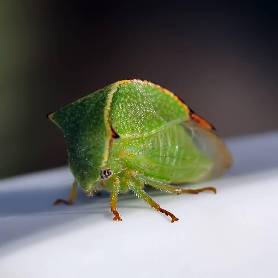 Фото американского таракана в квартире: как вывести, как кусает, может ли летать?