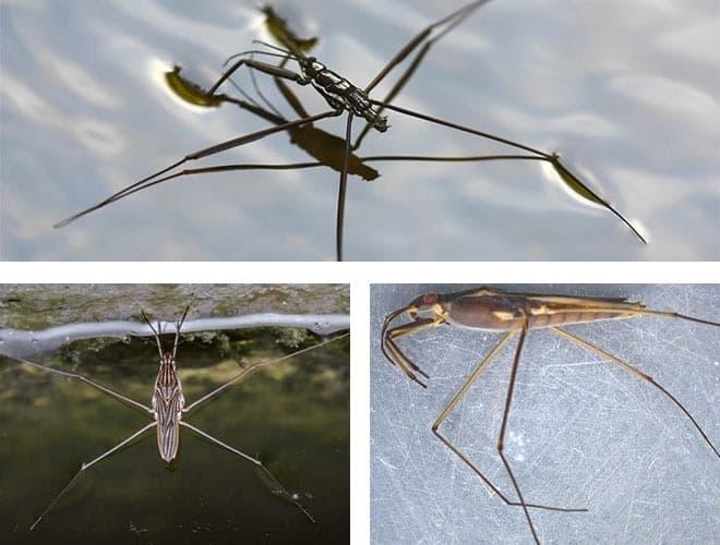 Насекомое водомерка: описание и виды, среда обитания, интересные факты