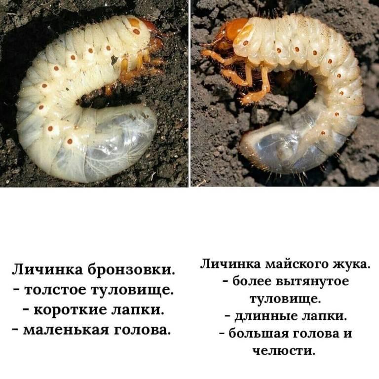 Майский жук и медведка - главные враги огородников